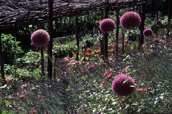 Bordure Talus Rosa Lavandula Allium SalviaPaysagistes: Ossart-MaurièresJardin des Paradis 81 France