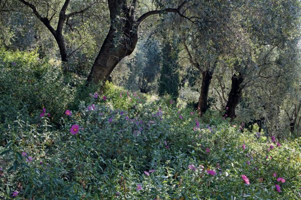 L'oliveraie Cistus Les Colombières Menton France