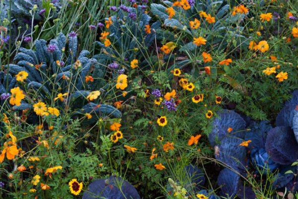 Le potager Echinacea ''Harvest Moon' Cosmos 'Diablo'Chou 'Autoro' & 'Redbore'Paysagistes: Ossart-MaurièresLe verger de Déduit (15)