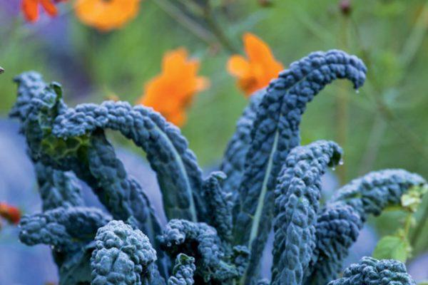 Le potager Chou 'Noir de Toscane'Paysagistes: Ossart-MaurièresLe verger de Déduit (15)