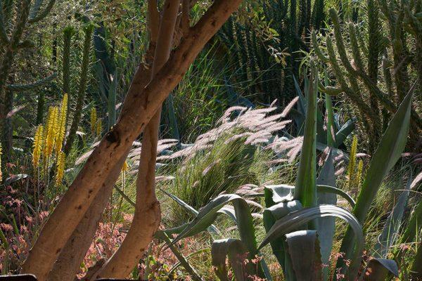 Aloe vera Pennisetum alopecuroïdes Agave americana Cylindropuntia subulata Kalanchoe fetschkenkoï (premier plan gauche)Architectes paysagistes Ossart & MaurièresDar Igdad Taroudant Maroc