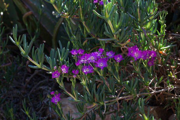 Aizoaceae spArchitectes paysagistes Ossart & MaurièresAfra Maroc
