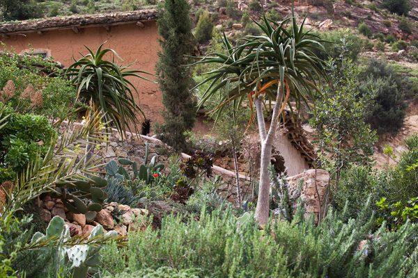 Aloe bainesii Architectes paysagistes Ossart-MaurièresAfra Maroc