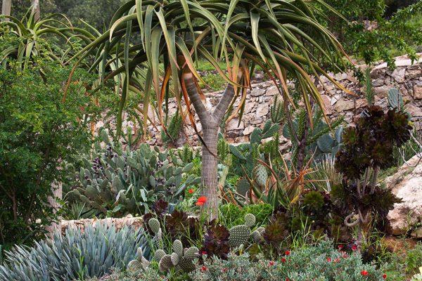 Aloe bainesii Agave macroacantha AeoniumArchitectes paysagistes Ossart & MaurièresAfra  Maroc