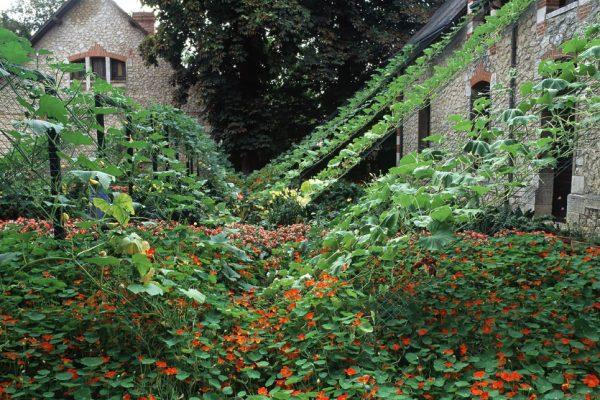 Chaumont 1999 La cour de la ferme Capucine 'Whirlybird' Coloquinte Cucurbita: maxima,mixta,moschata,ficifolia Paysagiste: Eric Ossart.Festival des Jardins de Chaumont-sur -Loire 41 France